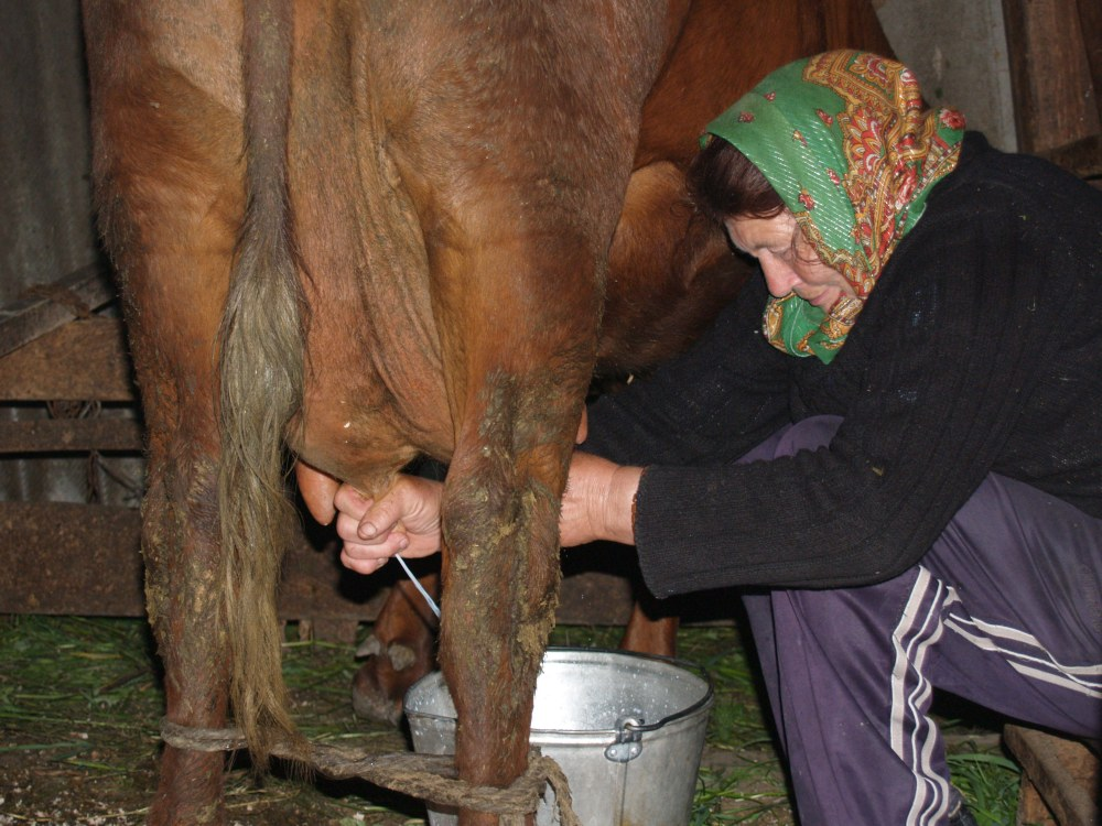 Sometimes a cow won't let you milk her if you've never met her. She will tighten up  and release little to no milk.